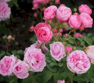 rose-mme-boll_rosa-mme-boll2