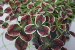 Trifolium Estelle