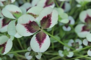 Trifolium Leonore
