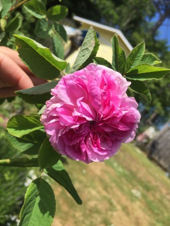 Blush Damask som är vanlig i gamla trädgårdar.